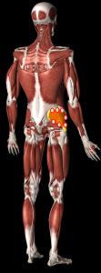 中殿筋治療部位