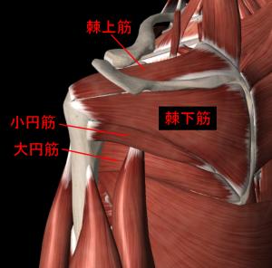 肩関節の筋肉1